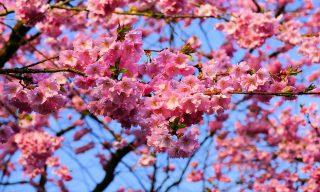 「賞櫻熱門景點 口碑調查」 國內、國外地點一次蒐羅讓你知!
