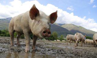 【FB熱門事件】熱帶低壓造成四千豬隻淹死 主人慘賠苦不堪言
