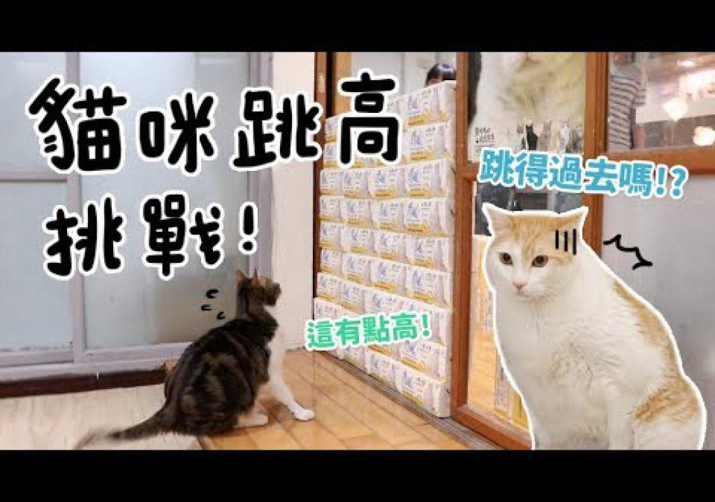 【黃阿瑪的後宮生活】貓咪跳高比賽!黃阿瑪可以跳多高?