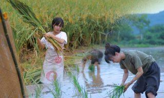 【李子柒 Liziqi】收割稻米端上飯桌 珍惜所有勞動而來的糧食