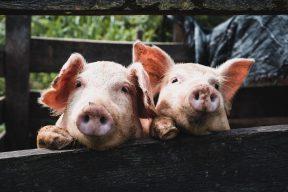 #爐渣重罰六千 #台北市負債跌破900億 #開放瘦肉精美豬 | PTT熱門事件