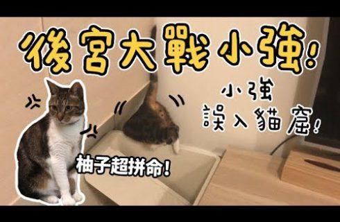 【黃阿瑪的後宮生活】後宮大戰小強!貓咪到底會不會抓蟑螂?